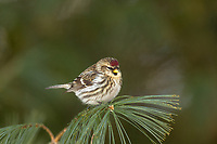 Female common redpoll in northern Wisconsin.