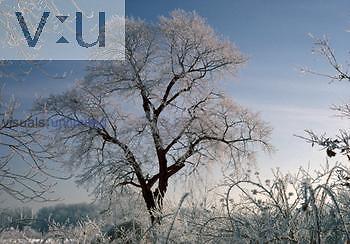 Four seasons Sugar Maple (Acer saccharum) Winter
