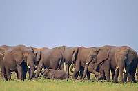 African Elephants.African Elephants--cow/calf herd.African Elephants--cow/calf herd--feeding in wetlands along lake shore.  Africa.