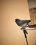 Dark-eyed Junco. Image taken with a Nikon D5 camera and 600 mm f/4 VR lens (ISO 900, 600 mm, f/4, 1/1250 sec).