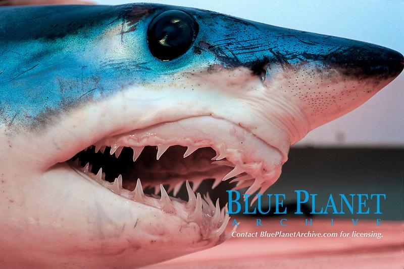 Shortfin mako, Isurus oxyrinchus, teeth, California, USA, East Pacific Ocean