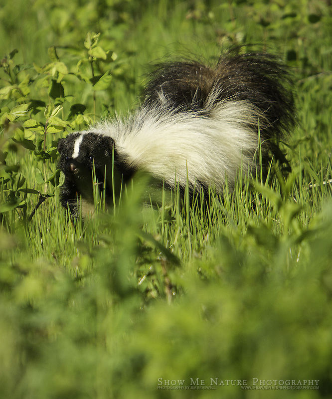 Striped Skunk foraging in the prairie meadow