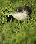 Striped Skunk foraging in the prairie meadow