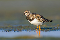 Ruddy Turnstone (Arenaria interpres) in basic(winter) plumage foraging on coastal mud flats. Rakhine State, Myanmar. January.