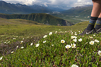 Mountain aven wildflowers on the tundra of rainbow ridge, Alaska Range mountains.