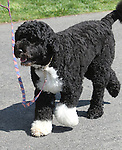 "U.S. President Barack Obama's Portuguese water dog ""Bo"" attends the 2011 White House Easter Egg Roll in Washington D.C. April 25, 2011..Copyright EML/Rockinexposures.com."