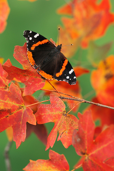 Red Admiral (Vanessa atalanta), perched on Bigtooth Maples (Acer grandidentatum), Lost Maples State Park, Hill Country, Central Texas, USA