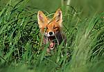 Red fox, Cape Pierce, Alaska