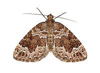 70.104 (1751)<br /> Devon Carpet - Lampropteryx otregiata