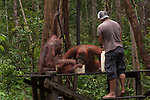 Bornean Orangutans (Pongo pygmaeus wurmbii) - drink milk from the Camp Leakey feeding platform. Ranger refilling.