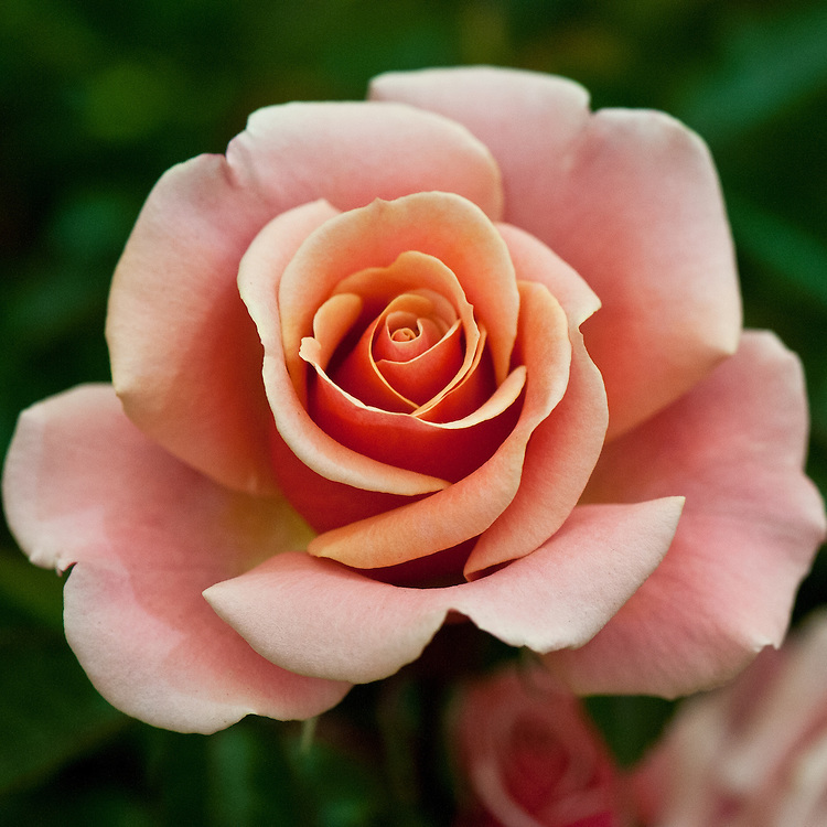 Rosa Truly Scrumptious ('Smi35-4-02'), early July. A Hybrid Tea rose with blends of pink and orange with a very dark deep-pink reverse petal.