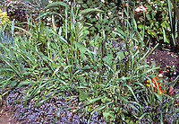 Elymus repens (Couch grass) aka Agropyron repens, weed grass in garden, quackgrass, Quack Grass