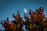 The waxing gibbous moon balances, momentarily, on the branches of a tree filled with fall colors.
