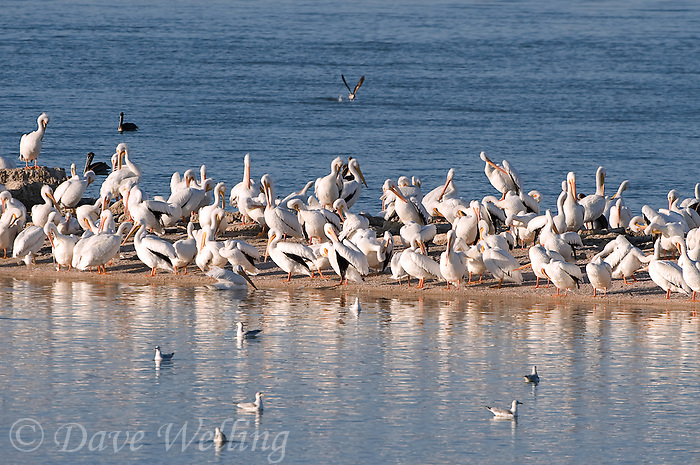 570040008 a flock of wild white pelicans pelecanus erythrorhynchos rest and preen on a sandspitay salton sea national wildlife refuge california