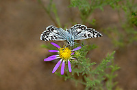 389250001 a wild common checkered skipper butterfly pyrgus communis perches on a small wildflower in city of rocks state park new mexico
