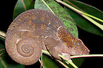 Short Horned or Elephant Eared Chameleon, Calumma brevicornis at night, Nr Mantadia National Park, Andasibe, Madagascar, large, ear-like occipital lobes, and the short bony appendage that projects from the snout of the male, Listed on Appendix II of CITES, Least Concern on the IUCN Red List,
