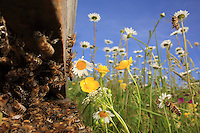 Children of the sun, a hive's activity is intense when the temperature rises above 15° Celsius and when the flowers produce an abundance of nectar. The nectar is secreted by the flowers to attract the insects who thus ensure the flowers' reproduction by transporting the pollen from the pistils to the stamens.///Filles du soleil, l'activité d'une ruche est intense quand la température est supérieure à 15 ° Celsius et quand les fleurs donnent en abondance du nectar. Le nectar est sécrété par les fleurs pour attirer les insectes qui assurent ainsi la reproduction des fleurs en transportant le pollen des pistils aux étamines.
