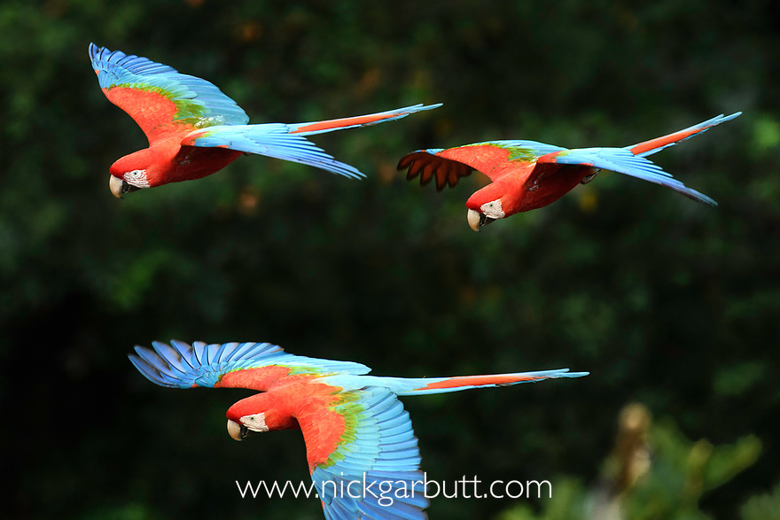 A group of red-and-green macaws or green-winged macaws (Ara chloropterus) (Family Psittacidae)(probably pair plus fledged offspring) in flight over forest canopy. Buraco das Araras (Sinkhole of the Macaws), Jardim, Mato Grosso do Sul, Brazil. September.