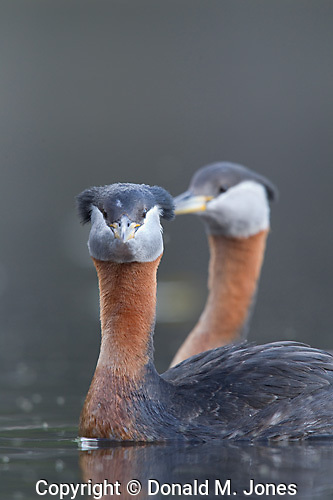 Red-neck Grebe (Podiceps grisegena)