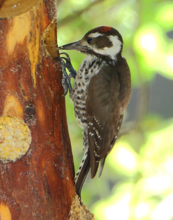 Male Arizona woodpecker