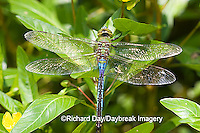 06361-005.16 Common Green Darner (Anax junius) male in wetland, Ballard Nature Center, Effingham Co. IL
