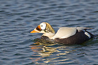 "Male spectacled eider, named for its ringed ""spectacles"" eye marking, swims in a tundra pond in Alaska's arctic."