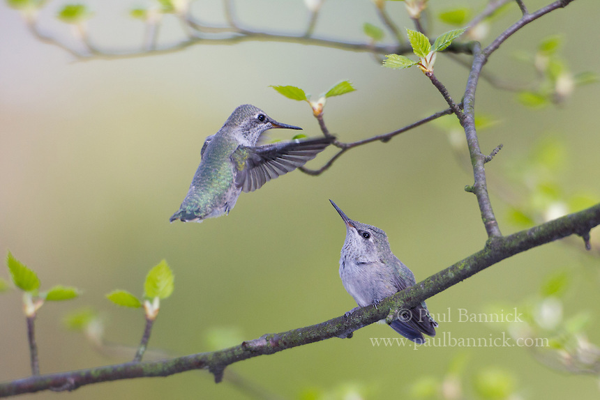 One day-old Anna's Humminbird watches his sibling hover.