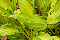 Shade plant Hosta Geisha with ornamental mottled streaked foliage
