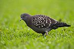 Spot-winged Pigeon (Patagioenas maculosa), Ibera Provincial Reserve, Ibera Wetlands, Argentina