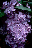 Syringa 'Descanso hybrid Lavender Lady' lilac in purple lavender bloom in spring, macro closeup of flower petals