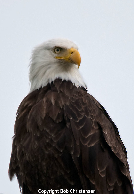 Montana Wildlife - eagles