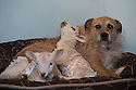 "21/04/15<br /> <br /> Piper lets the lambs lie on him.<br /> <br /> Two 'sheep dogs' are helping to pamper three orphaned lambs who think the dogs are their mum.<br /> <br /> The three orphaned  lambs, who wear nappies so they can have the run-of-the-house, like to snuggle up to the dogs and share their bed with them in the kitchen by the stove.<br /> <br /> Piper, an 11-year-old rhodesian ridgeback-cross and Draughtsman, an eight-year-old ex-hunting beagle, take turns looking after the week-old lambs who often try to suckle from their doting canine 'parents'.<br /> <br /> Melissa Ebbatson, 21, said: ""These three were quite poorly, so we brought them inside so we could look after them better and give them a bit more warmth. We put them in nappies so they don't make a mess in the house.  One of the dogs was having a snooze on his bed and the lambs just jumped in and joined him. And they've all become inseparable since then.<br /> <br /> ""The dogs like to clean the lambs' faces after they've had their bottles. And they enjoying romping around the place with them,"" said Melissa who helps to run Crossgates Farm, with her family near Tideswell in the Derbyshire Peak District.<br /> <br /> ""They seem to really care about them and go straight to them if they start bleating – they even come to find us if they think they're hungry.<br /> <br /> ""We change their nappies at least four-times-a-day - the baby boys even need to wear two!<br /> <br /> ""They are between seven and eight days old, and we hope to get them living back outside again when they are strong enough in another ten days or so – that's as long as the dogs let us!<br /> <br /> ""We're probably all a bit bonkers here but it all seems normal to us"", she added.<br /> <br /> All Rights Reserved: F Stop Press Ltd. +44(0)1335 418629   www.fstoppress.com."