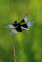 A Whitetail Dragonfly clings to a prairie shrub branch at Lockport Prairie Nature Preserve, Will County, Illinois