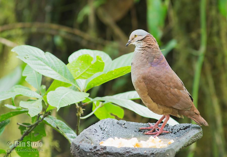 White-throated quail dove, Geotrygon frenata, perches on a feeder at Refugio Paz de las Aves, Ecuador