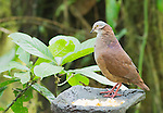 White-throated quail dove, Geotrygon frenata, perches on a feeder at Refugio Paz de las Aves, Ecuador