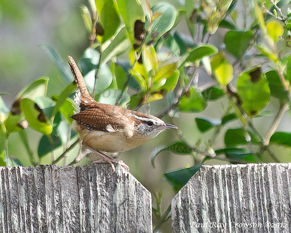 Carolina Wren on fence