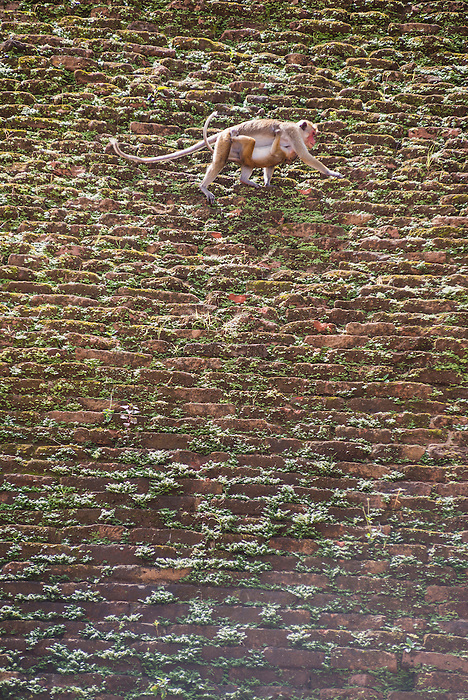 Sacred City of Anuradhapura, monkeys on the Abhayagiri Dagoba, aka Abhayagiri Vihara, Abhayagiri Monastery, Sri Lanka, Asia. This is a photo of monkeys on the Abhayagiri Dagoba (Abhayagiri Vihara) at the Abhayagiri Monastery in the Sacred City of Anuradhapura, a complex of ancient Buddhist dagoba ruins.