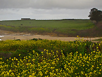 North of Pigeon Point Lighthouse, ominous tranquility.  A field of yellow, a sandy beach.  Cattle grazing on a green hillside near a lonely outbuilding.  Overhead, dark clouds hover.