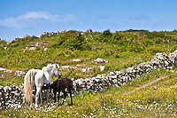 Connemara pony mare with foal suckling in buttercup meadow, Connemara, County Galway, Ireland