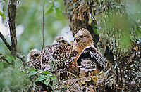 Red-shouldered Hawk, Buteo lineatus,adult and young in nest, San Antonio, Texas, USA, June 2004