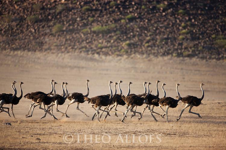 Namibia;  Namib Desert, group of ostriches running