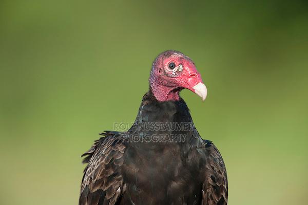 Turkey Vulture (Cathartes aura), Dinero, Lake Corpus Christi, South Texas, USA