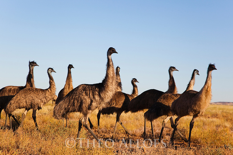 Australia,  NSW, Sturt National Park; Group of emus (Dromaius novaehollandiae) in grassland; the emu population increased dramatically after the recent rains in the previous 3 years following 8 years of drought