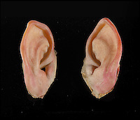 BNPS.co.uk (01202) 558833<br /> Picture: Julien's/BNPS<br /> <br /> ****Please use full byline****<br /> <br /> Samwise Hobbit prosthetic ears estimnated to fetch &pound;5,000.<br /> <br /> Lord of the bling...<br /> <br /> Hobbit hero Frodo Baggins' ring and sword are among an incredible &pound;1.5 million archive of props from the blockbuster Lord of the Rings films that has emerged for sale.<br /> <br /> Dozens of the smash hit trilogy's most iconic costumes and props are up for grabs including Gandalf's staff, Sauron's helmet and Gimli's battle axe.<br /> <br /> Fans of the films, adapted from the 1954 book by British author J.R.R. Tolkein, can also get their hands on prosthetic hobbit ears and feet.<br /> <br /> Amazingly the props have been compiled by a Lord of the Rings enthusiast who has spent more than 10 years scouring the world for authentic memorabilia.<br /> <br /> They are being sold by Julien's Auctions in Los Angeles on December 5.