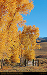 Cottonwoods by Rose Creek in Autumn, Lamar Buffalo Ranch, Lamar Valley, Yellowstone National Park, Wyoming