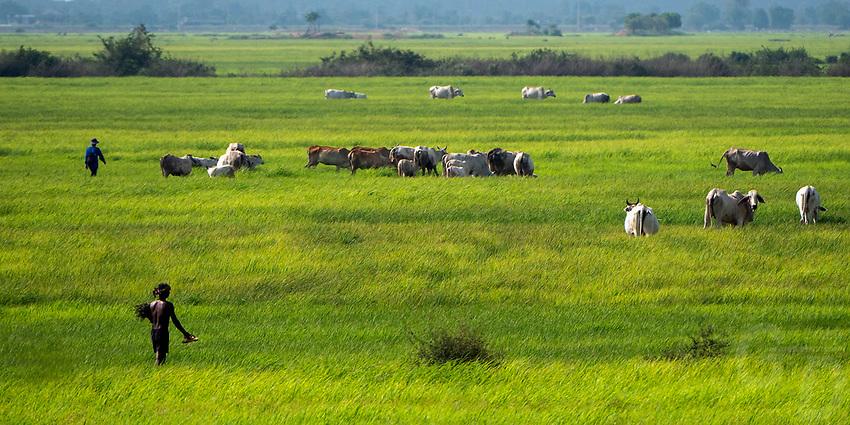 Rural area with cattle, scenery near Battambang, Cambodia