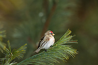 Female common redpoll perched on a white pine branch in northern Wisconsin.