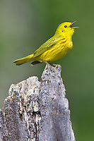 Male Yellow Warbler singing from the top of a snag