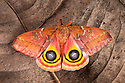 Bullseye Moth {Automeris io} showing eye spot markings on wings during deimatic display to deter predators. Captive, originating from North and Central America. Sequence 2 of 2.