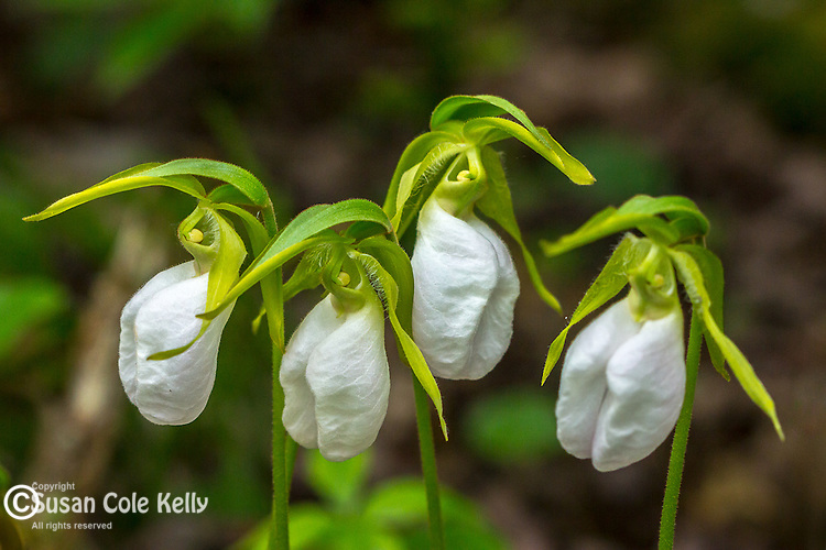 Pink Lady's Slippers in Mariaville, Maine, USA